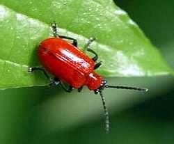 Celkom milý chrobáčik, kým ho vpodobe šelaku nemusíme konzumovať
